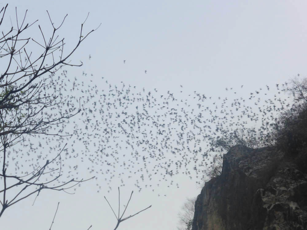 Thirty Million Bats in Battambang, Cambodia
